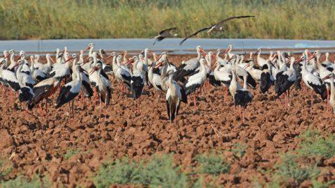 A néphagyomány szerint Szent István napján indulnak útnak a gólyák