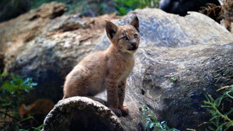 Alt Áneu, 2019. augusztus 9. A Catalunya La Pedrera Alapítvány által közreadott, 2019. augusztus 5-i kép egy két hónapos eurázsiai hiúzról (Lynx lynx) a Pallars Sobira katalán megyei Alt Áneu település közelében. A kölyök mintegy száz éve az elsõ, Pireneusokban született eurázsiai hiúz. A hegység mind spanyolországi, mind franciaországi részén kihaltnak tartották a vadmacskát, utoljára az 1930-as években látták ott a fajt. A vadvédelmi területen világra jött hiúzkölyök mindkét szülõje fogságban született a térségben, 2008-ban a kerültek a védett területre. MTI/AP/Catalunya La Pedrera Alapítvány