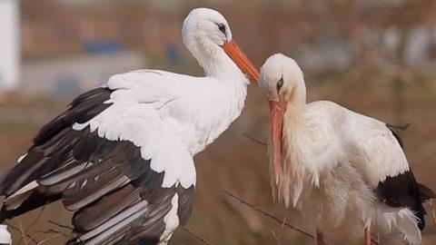 Bodrogkeresztúr lett a gólyák fővárosa Borsodban