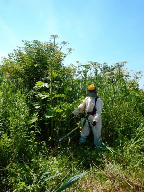 Veszélyes özönnövény ellen harcolnak Kiskőrös határában