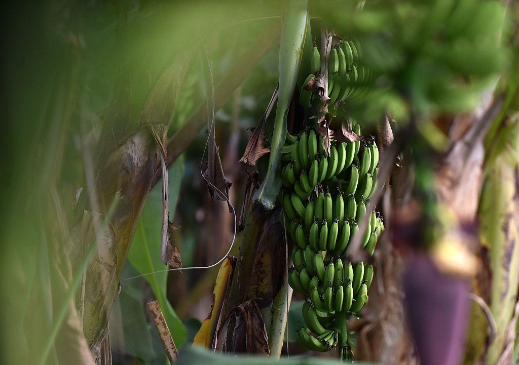 Egy járvány épp pusztítja a világ kedvenc gyümölcsét