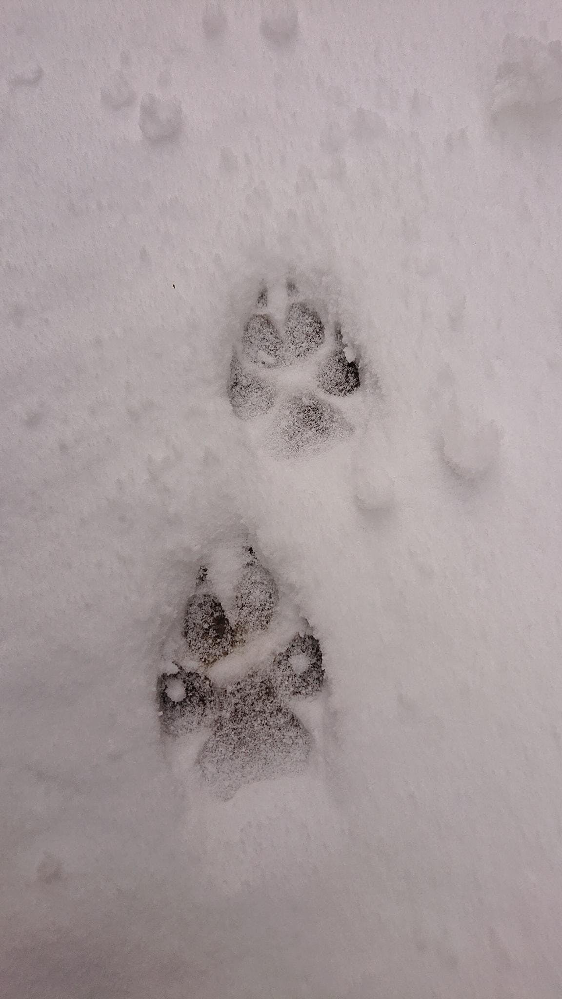 Kilométereken át követte egy farkasfalka nyomait a Bükkben egy túrázó