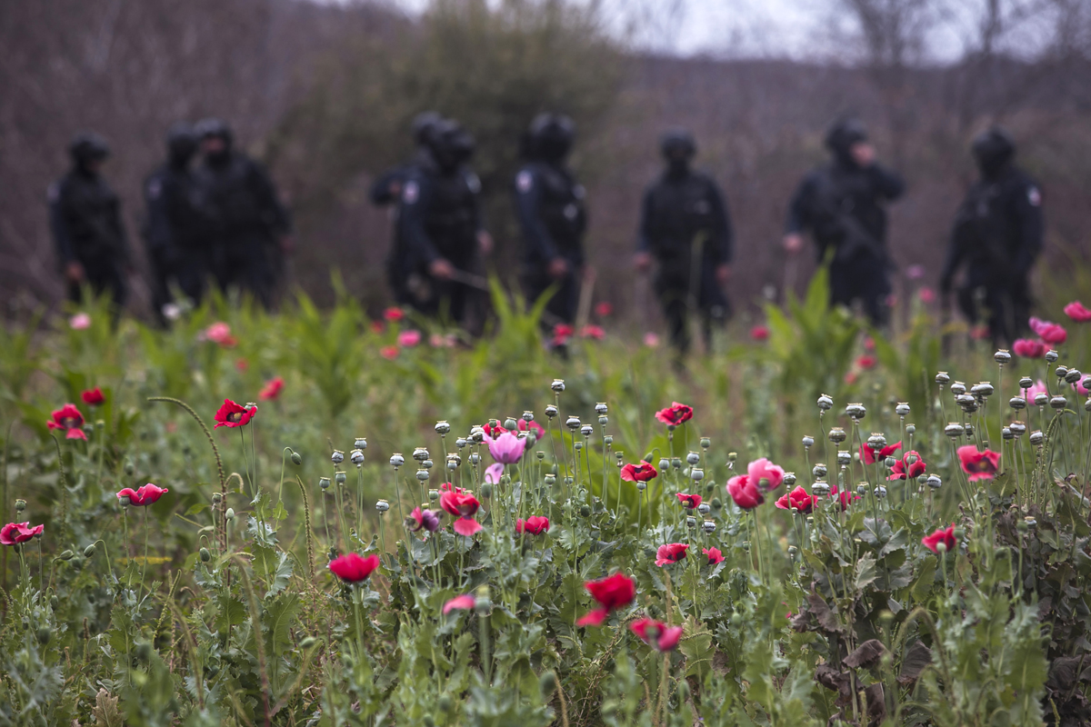 Police agents stand guard during an operation of confiscation of illegal poppy flowers at Los Pericos village, Mocorito municipality in Sinaloa state, Mexico on March 15, 2018.Mexico is being whipped by a drug cartels war disputing their place and the trafficking to the United States with unusual ferocity and sophisticated weapons. / AFP PHOTO / Rashide frias