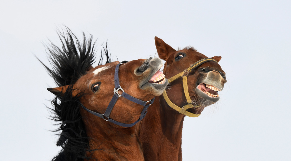 Two horses play in their paddock close to the small Bavarian village of Puchheim near Munich, southern Germany, during cold winter weather with temperatures by minus eight degrees on February 27, 2018.   / AFP PHOTO / CHRISTOF STACHE