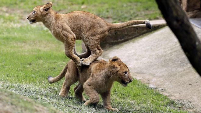 Johannesburg, 2018. március 19.Oroszlánkölykök ismerkednek nagyobb kifutójukkal a Johannesburgi Állatkertben 2018. március 19-én.  (MTI/AP/Themba Hadebe)