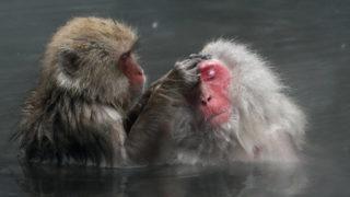 Jamanoucsi, 2018. március 21.Japán makákó majmok fürdőznek a Nagano prefektúrabeli Jamanoucsi Dzsigokudani majomrezervátumának meleg vizű forrásában 2018. március 21-én. A hómajomként is ismert japán makákó azon nagyon kevés főemlős fajta egyike, amely hideg éghajlaton honos. A fajtából több száz példány él a közeli hegyen. Rendszerint ott töltik az éjszakát, és nappal ereszkednek le fürdeni a hévízhez. (MTI/EPA/Majama Kimimasza)