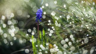 Ajnácskő, 2018. április 11.Fürtös gyöngyike (Muscari neglectum) virágzik a Tilics csúcsán a felvidéki Ajnácskő közelében 2018. április 11-én.MTI Fotó: Komka Péter