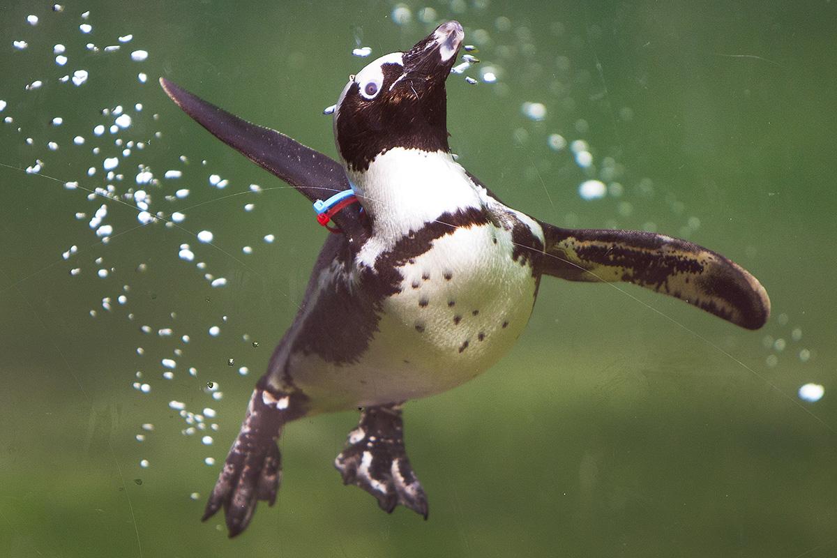 Kronberg, 2018. április 9.Afrikai pingvin úszik a kronbergi Opel állatkert medencéjében 2018. április 9-én. (MTI/AP/Michael Probst)