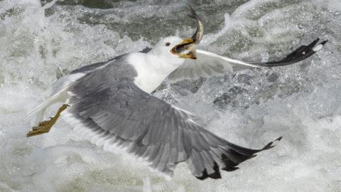 Van, 208. május 18.Árral szemben úszó apró halat fog egy sirály a kelet-törökországi Van-tó mellékfolyóinak egyikében, Van város térségében 2018. május 18-án. A tengeripérfélék családjába tartozó Alburnus tarichi, helyi nevén darekh vagy tarek a lazacvándorláshoz hasonlóan, folyón felfelé úszva éri el ívóhelyét, a vulkanikus tevékenység során kialakult Van sóstavat, ahol ikrát rak a májustól júniusig tartó szaporodási időszakban. A kizárólag Törökországban előforduló tarek az egyetlen ismert halfaj, amely tolerálni képes a Van-tó vizének só- és karbonáttartalmát. (MTI/EPA/Sedat Suna)