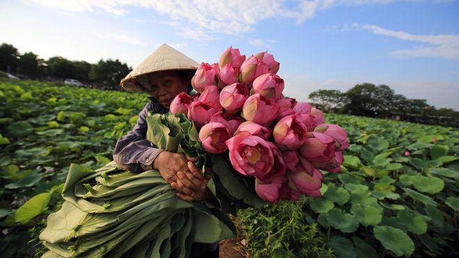 Hanoi, 2018. június 20.Összegyűjtött lótuszvirágcsokrot visz egy asszony Hanoi egyik vízinövény-kertészetében 2018. június 20-án. A növény az ősi keleti vallásokban a megtisztulás és az újjászületés jelképe. (MTI/EPA/Luong Thai  Linh)