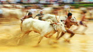 In this photograph taken on August 4, 2018 Indian men race oxen in a paddy field during the 'Oorchatheli' festival in Kozhikode in the Indian state of Kerala. / AFP PHOTO / Arun Arc