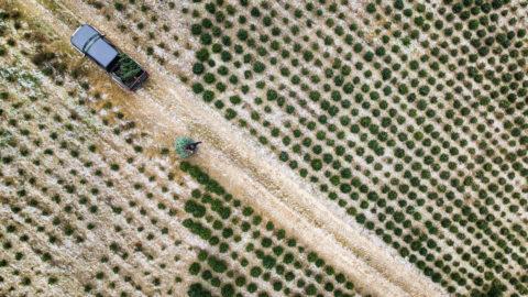 Sommentier, 2018. december 20.A 2018. december 14-i képen Alexandre Castella svájci faiskola-tulajdonos frissen kivágott fát húz normannfenyő-ültetvényén, a Freiburg kantonbeli Sommentier-ben. A férfi négy különálló ültetvényen több mint 400 ezer facsemetét nevel, és évente az állomány mintegy egytizedét termeli ki eladásra.MTI/EPA/KEYSTONE/Valentin Flauraud