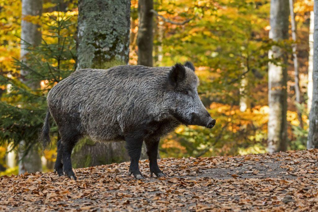 Wild boar (Sus scrofa) in autumn forest during the hunting season | Sanglier (Sus scrofa) en forêt en automne 16/10/2017