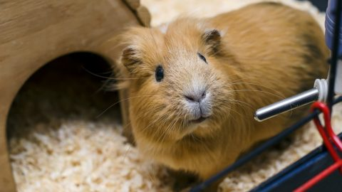 Small guinea pig stand next to wooden house